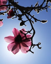 magnolia herbal use for digestion in Chinese medicine